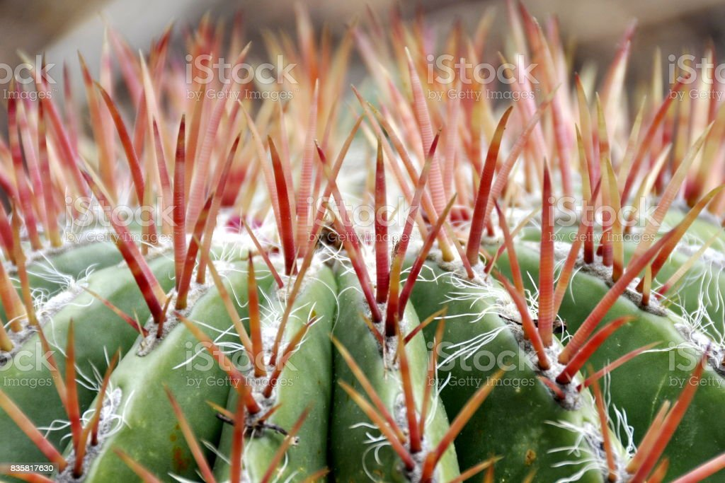 Fire barrel cactus thorns stock photo