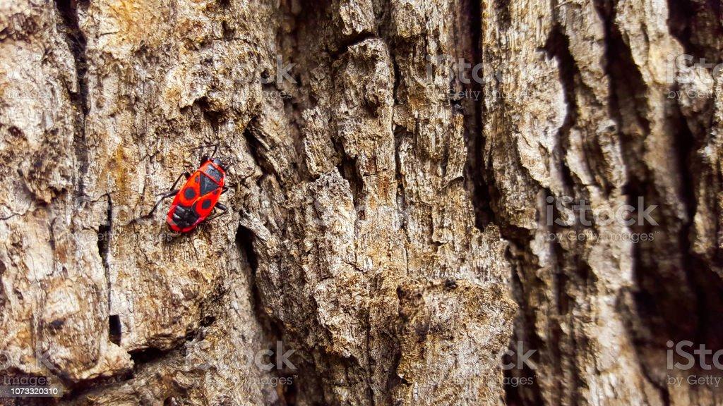 Fire beetle on log. stock photo