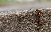 Fire bugs on a stone wall in the spring in selective focus