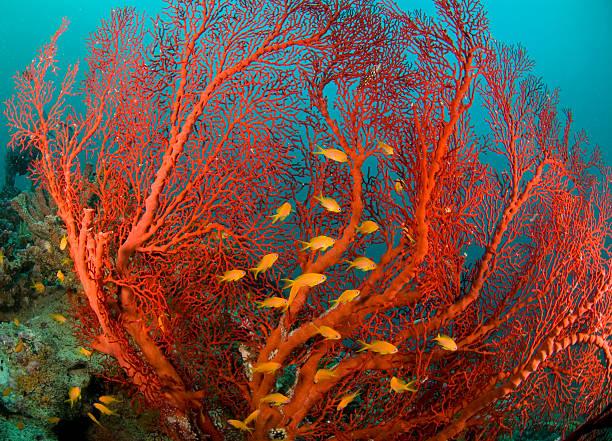 corallo di fuoco e mare goldies - barriera corallina foto e immagini stock