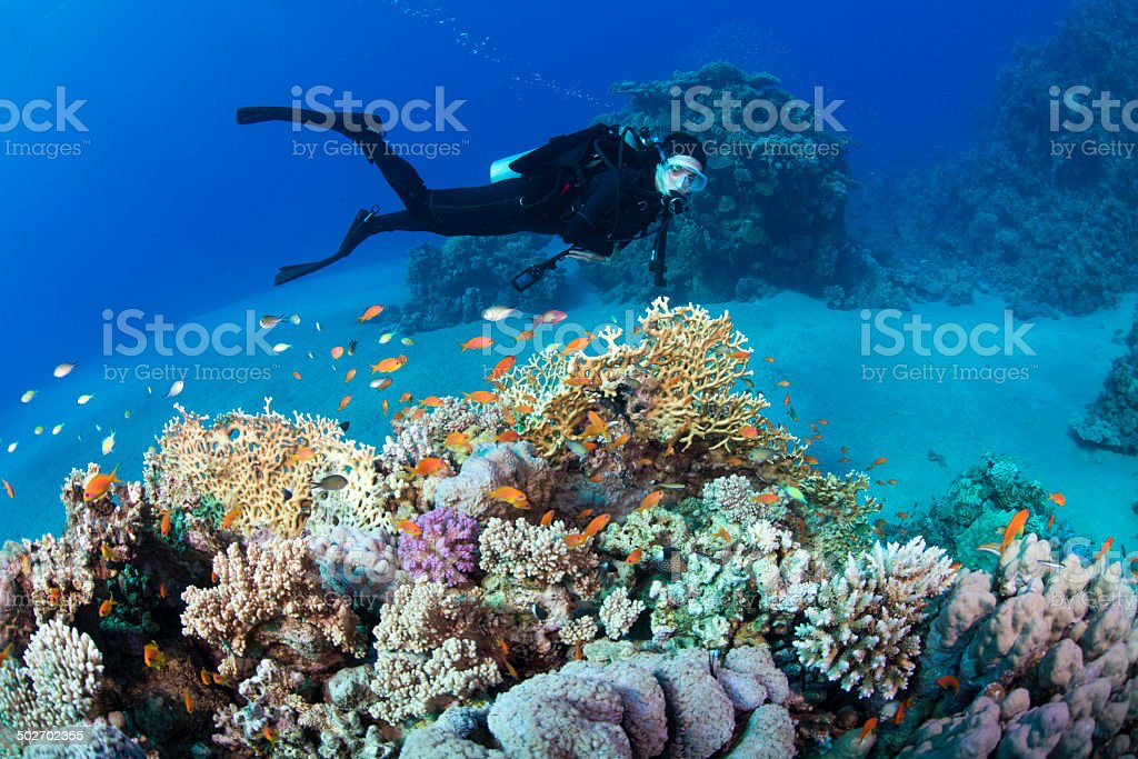 Fire coral diver stock photo