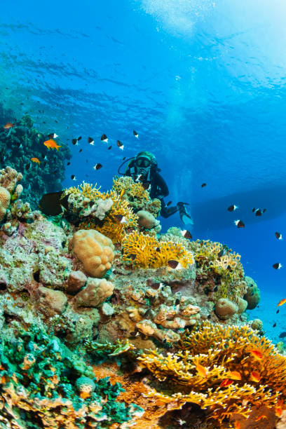 Fire Coral, Finger coral Underwater Sea life Coral reef Underwater photo Scuba Diver Point of View. Blonde woman scuba diving in background stock photo