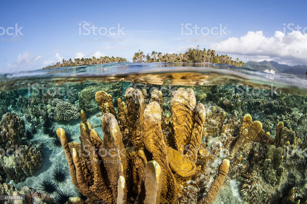 Fire Coral in French Polynesia stock photo