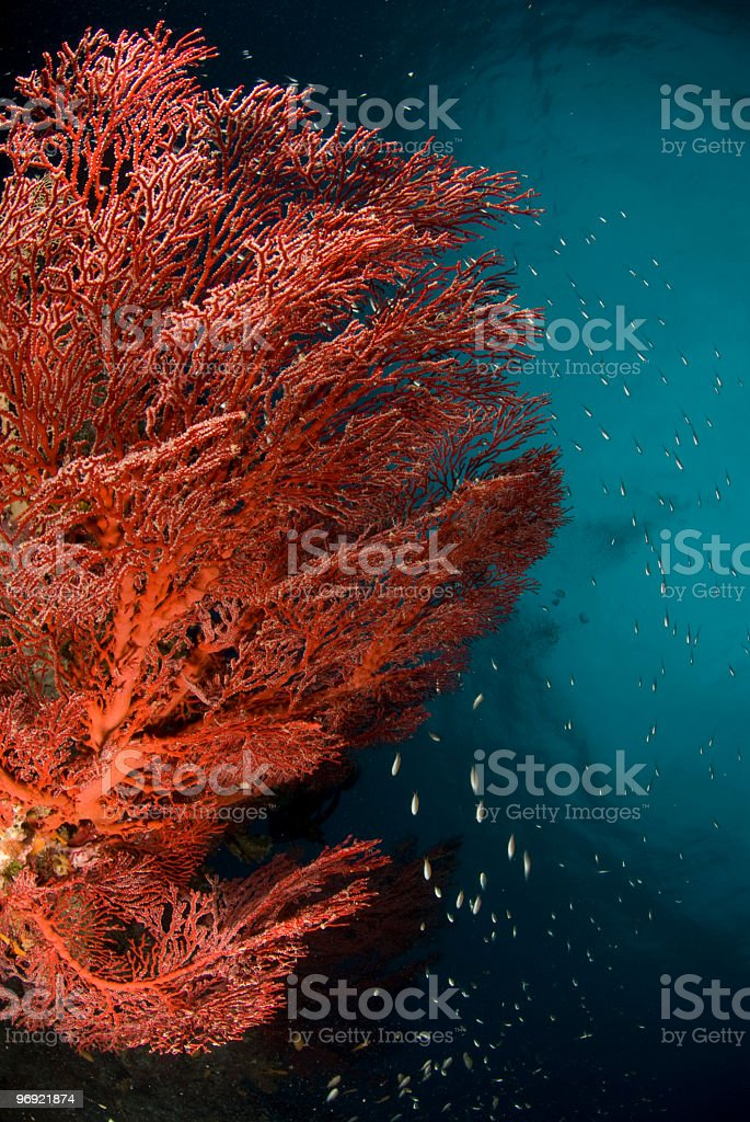 fire coral royalty-free stock photo