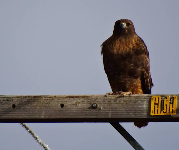 Fire Ferruginous Hawk stock photo
