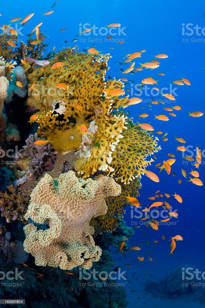 Fire fish royalty-free stock photo
