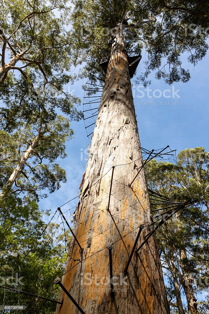 Fire Lookout at the top of a gum tree. royalty-free stock photo