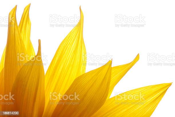 Photo of Fire of Sunflower Petals