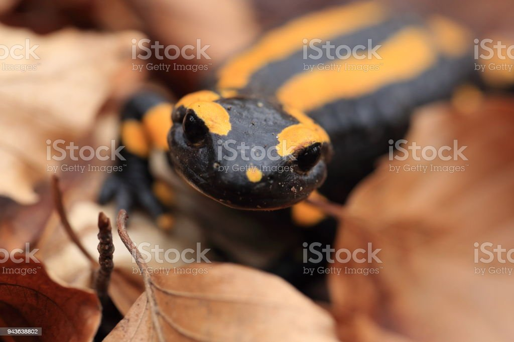 Fotografía de Fuego De La Salamandra Alemania y más banco de ...