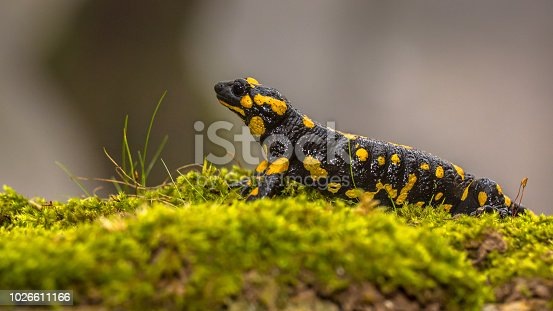 Fire salamander (Salamandra salamandra)  is possibly the best-known salamander species in Europe. Animal in close up in natural mountain forest