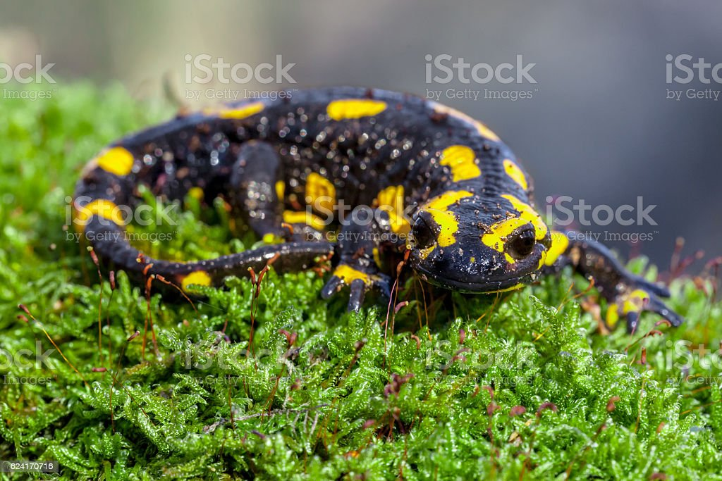 Fire salamander on a mossy trunk in its natural habitat stock photo