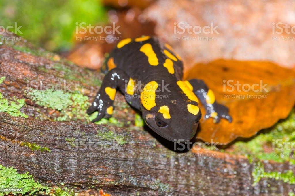 Fotografía de Salamandra Común O Salamandra Salamandra Primer Plano ...