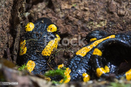 Fire salamander, or Salamandra salamandra hiding in old beech primary forest. Species under protection of Bern convention.