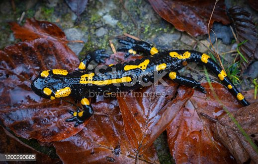 fire salamander or Salamandra salamandra the best-known salamander species in Europe. Close up portrait with shallow DOF and foliage leaves in the wild. Wildlife photography