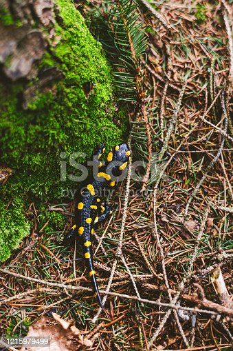 The fire salamander (Salamandra salamandra) is possibly the best-known salamander species in Europe.  It is black with yellow spots or stripes to a varying degree; some specimens can be nearly completely black while on others the yellow is dominant. Shades of red and orange may sometimes appear, either replacing or mixing with the yellow according to subspecies. Fire salamanders can have a very long lifespan.