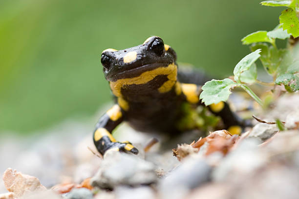 Feuersalamander - Photo