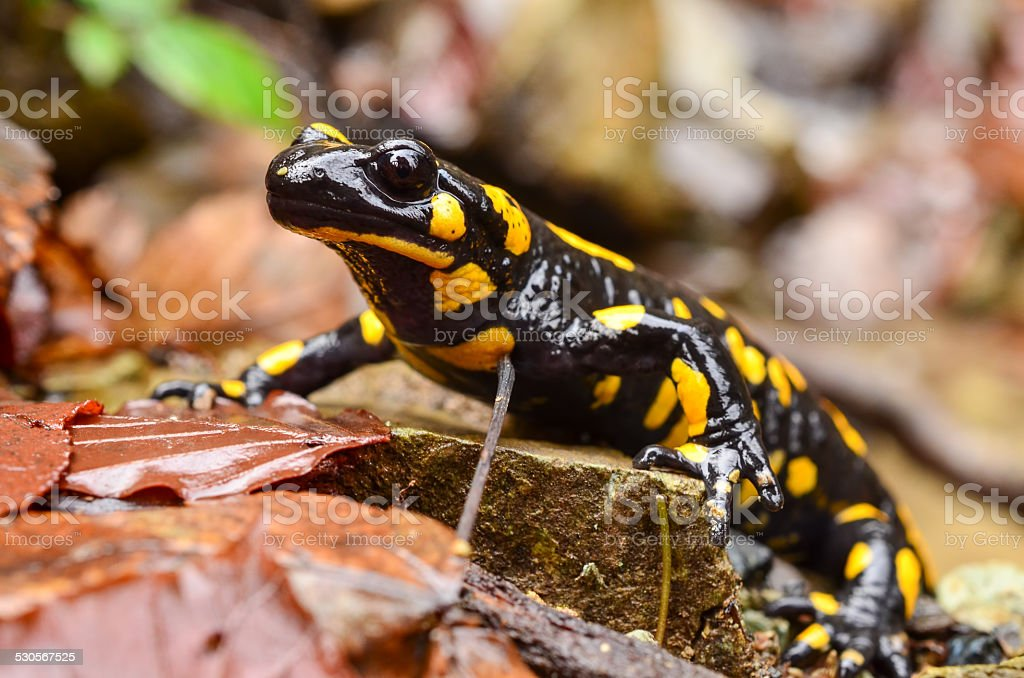 Fire salamander stock photo
