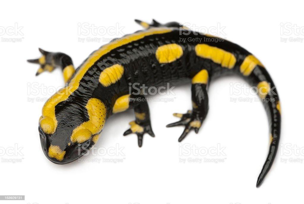 Fotografía de Salamandra Común Salamandra En Frente De Fondo Blanco ...