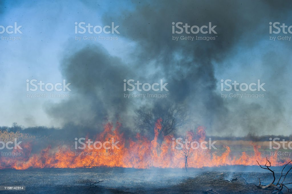 Raging forest spring fires. Burning dry grass, reed along lake. Grass...