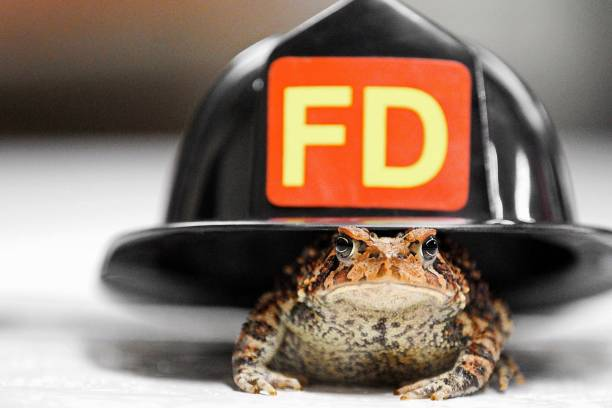 Fire Toad stock photo