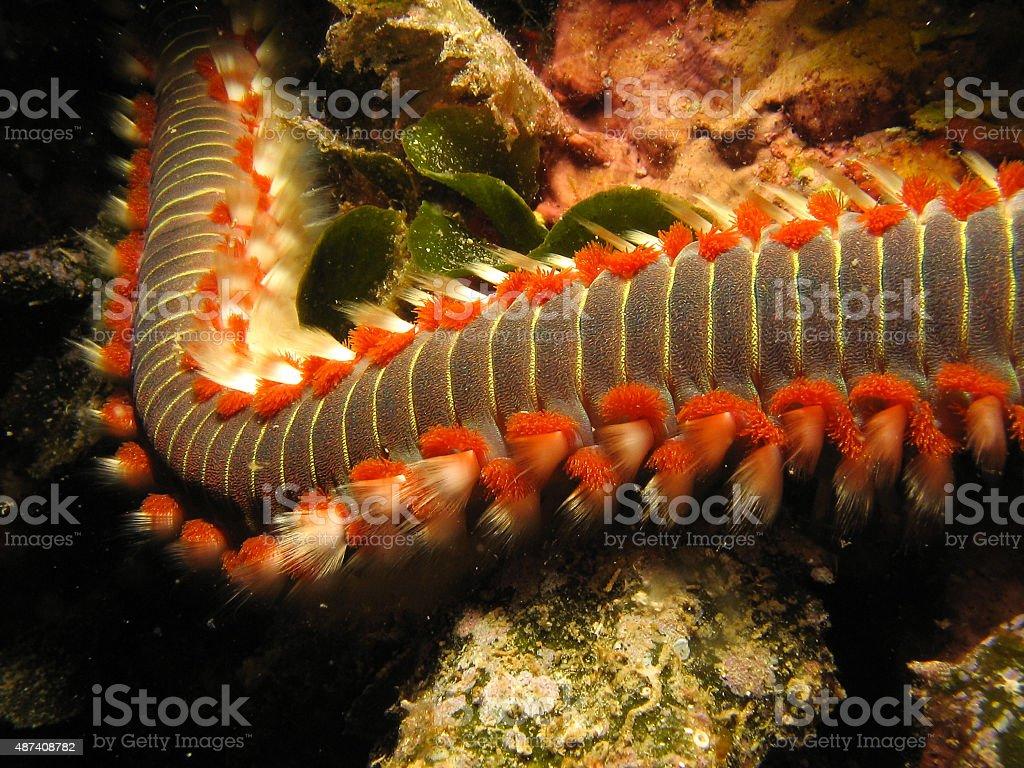 Fire Worm Hermodice carunculata stock photo