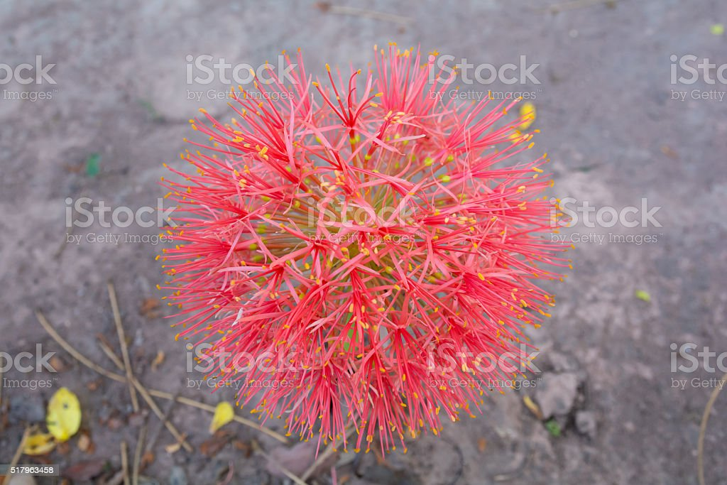 Fireball Lily stock photo