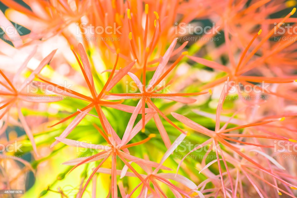 Fireball lily, Scadoxus multiflorus subsp.Kathericae, Sauth Africa stock photo