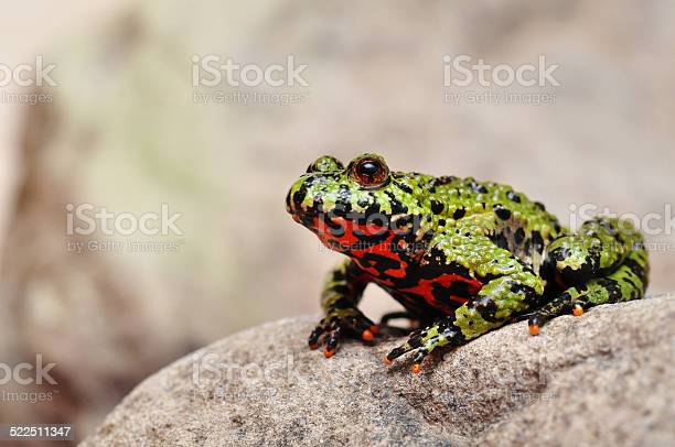 Photo of Fire-bellied Toad