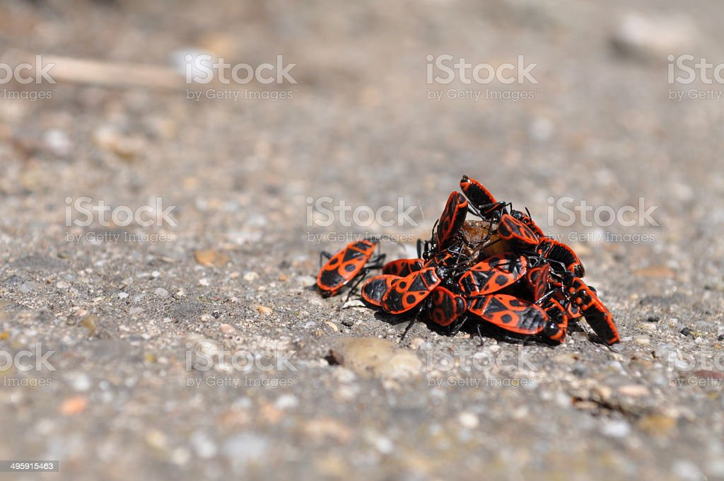Firebugs eating a rotten fruit royalty-free stock photo