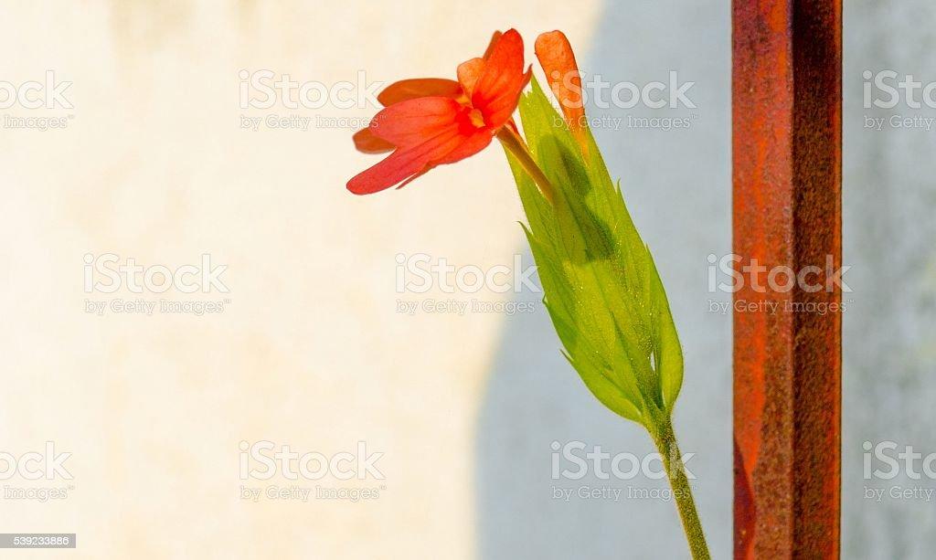 Petardo flor foto de stock libre de derechos