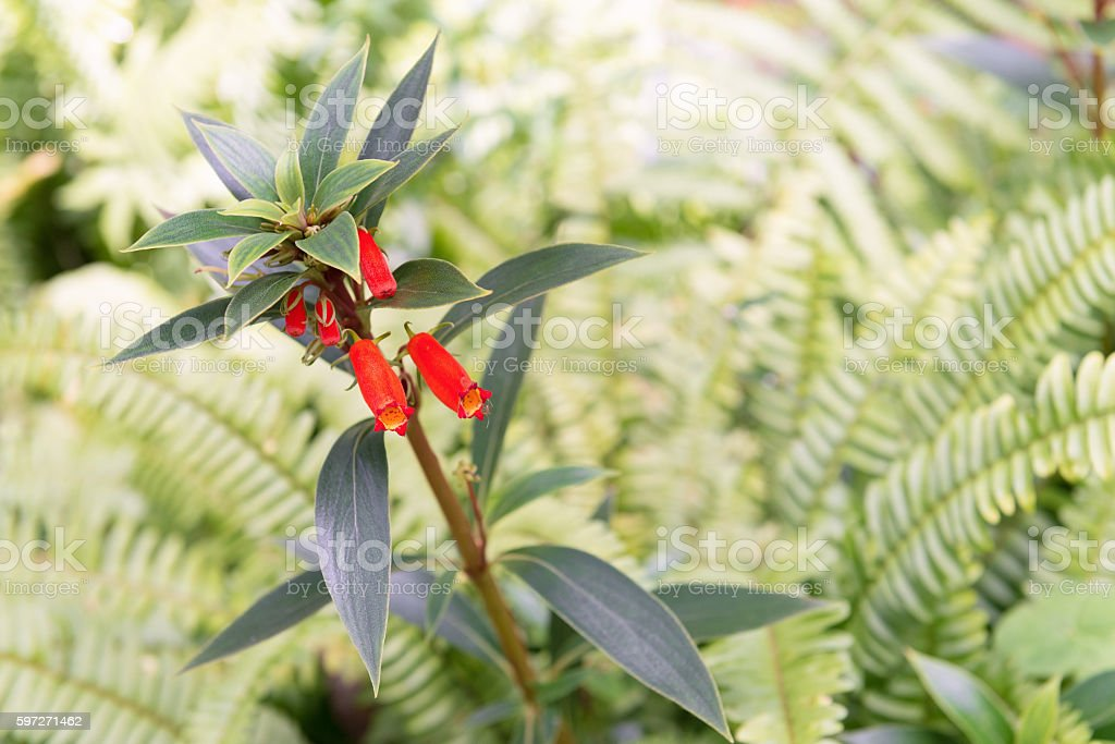 Firecracker Penstemon royalty-free stock photo