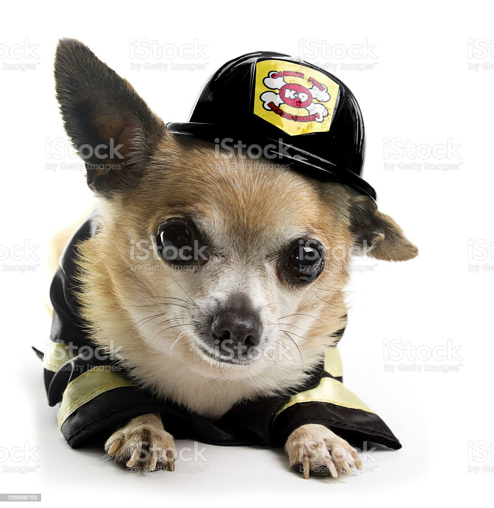 Firefirghter Chihuahau stock photo