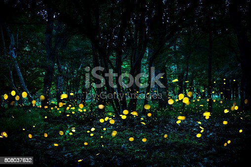 istock Fireflies flying in the forest at twilight. 808037632