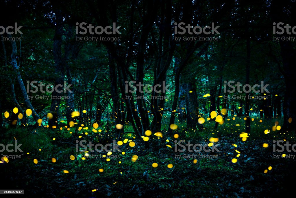 Fireflies flying in the forest at twilight. stock photo