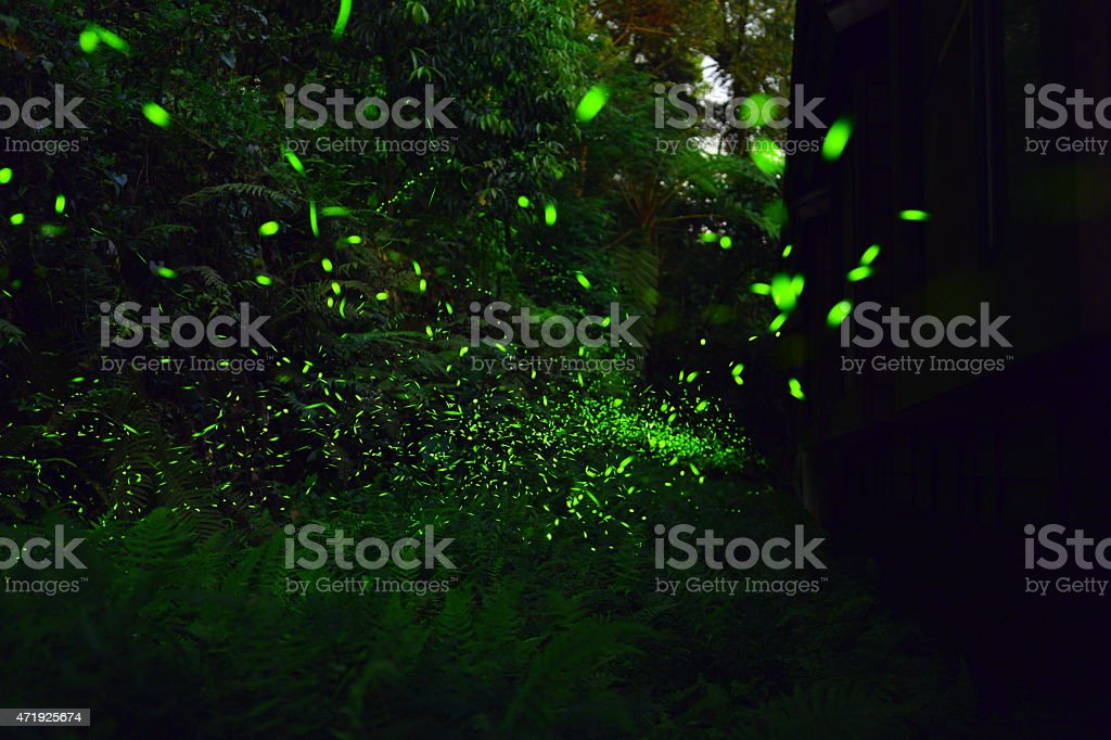 Fireflies were flying above tussock in the night stock photo