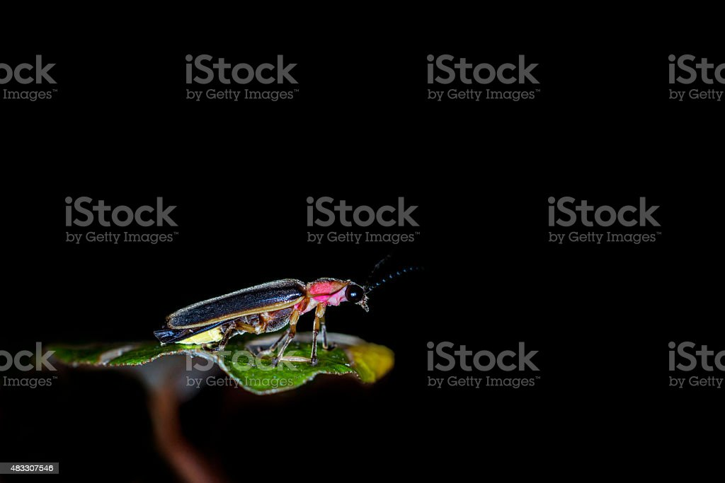 Firefly close up in black background stock photo