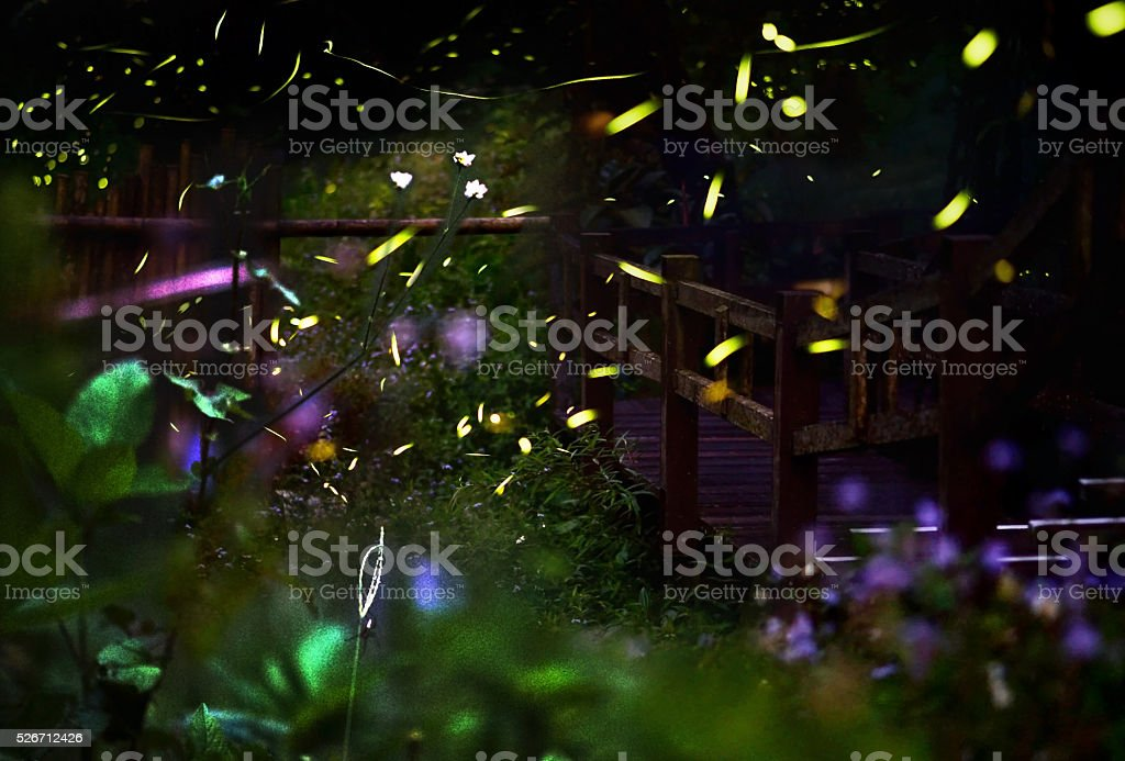 Firefly/ Night in the forest with fireflies. Long exposure of fireflies. stock photo