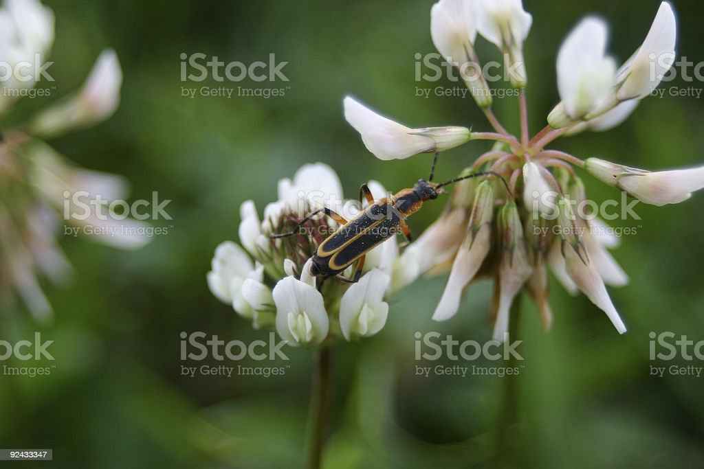 Firefly on Clover royalty-free stock photo