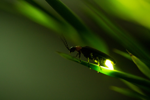 Video shot of fireflies glowing.
