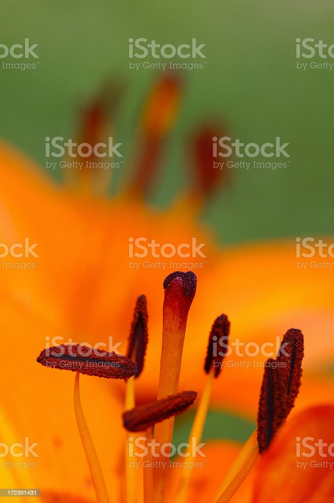 Firelily. royalty-free stock photo