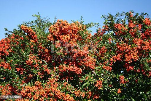 Pyracantha or Firethorn hedge with beautiful ripe red berries in autumn against blue sky