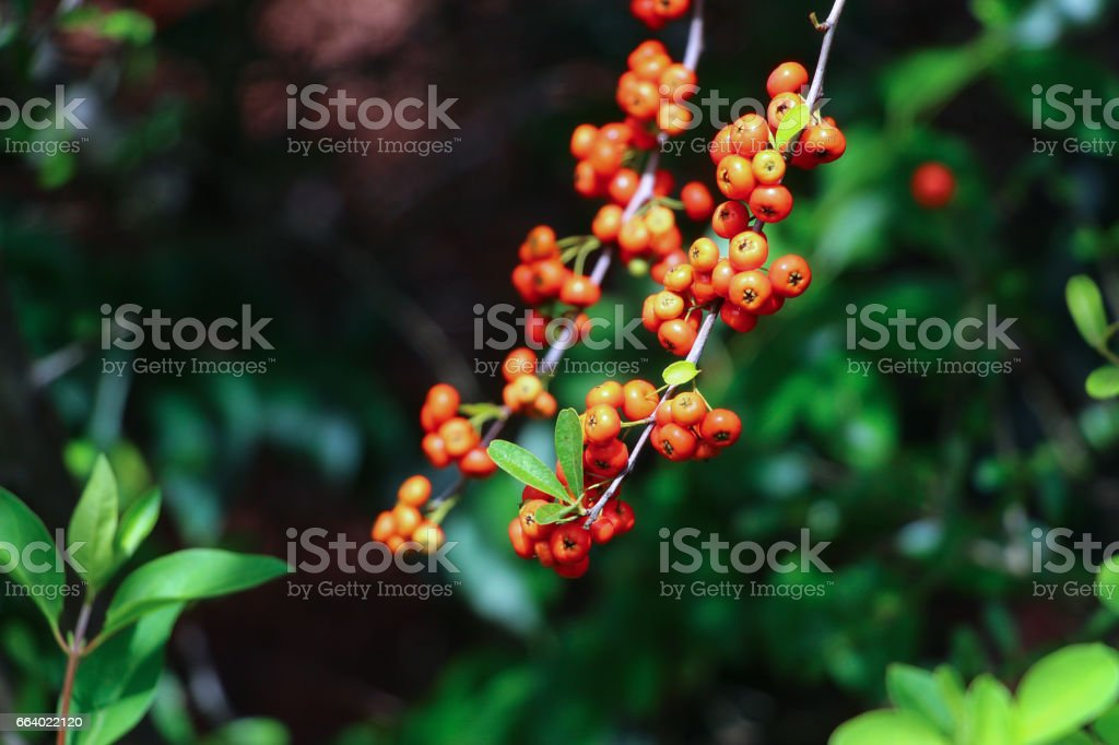 Buisson ardent ou Pyracantha baies - Photo
