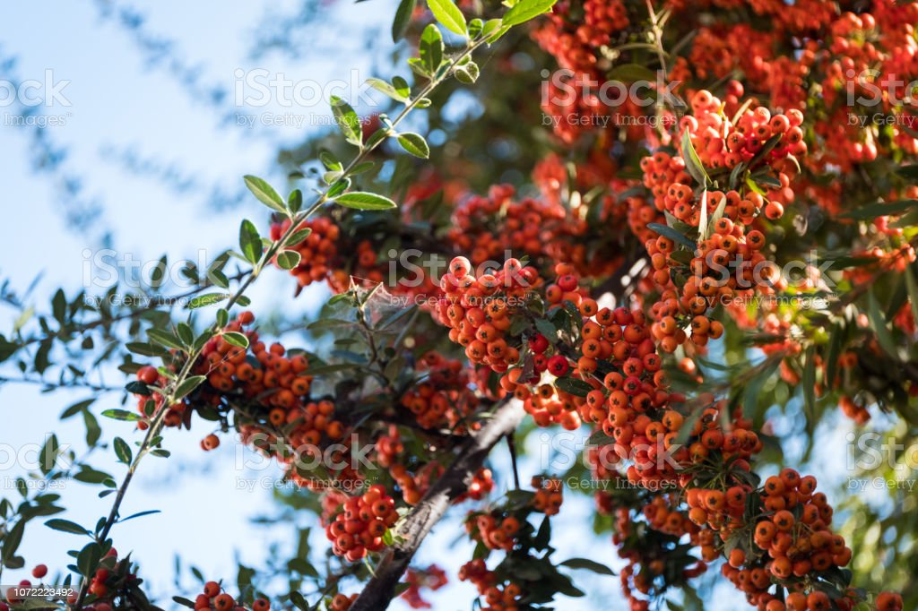 Firethorn Plant With Orange Berries Stock Photo Download Image