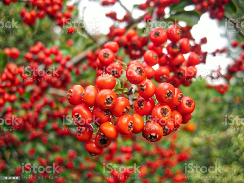 Buisson ardent Pyracantha Coccinea fruits - Photo