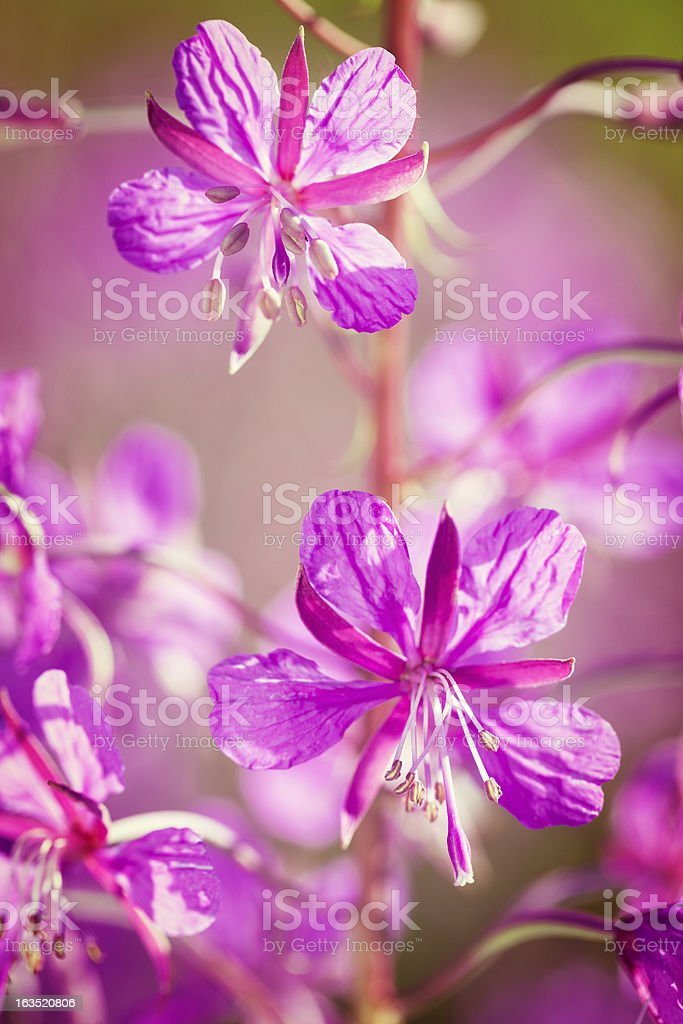 Fireweed ( Rosebay Willowherb ) (Chamaenerion angustifolium) closeup royalty-free stock photo