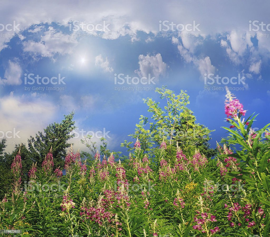 Fireweed grows in the forest royalty-free stock photo
