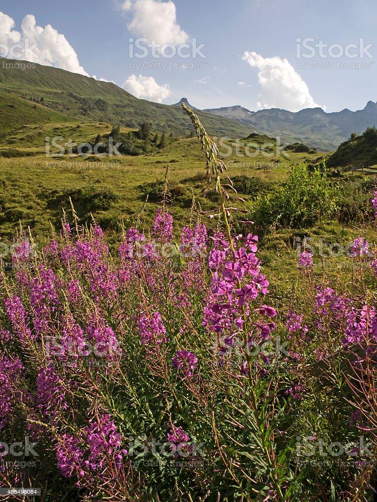 Fireweed in an alpine landscape, Schmalbättrige Weidenröschen (Epiobium angustifolium) stock photo