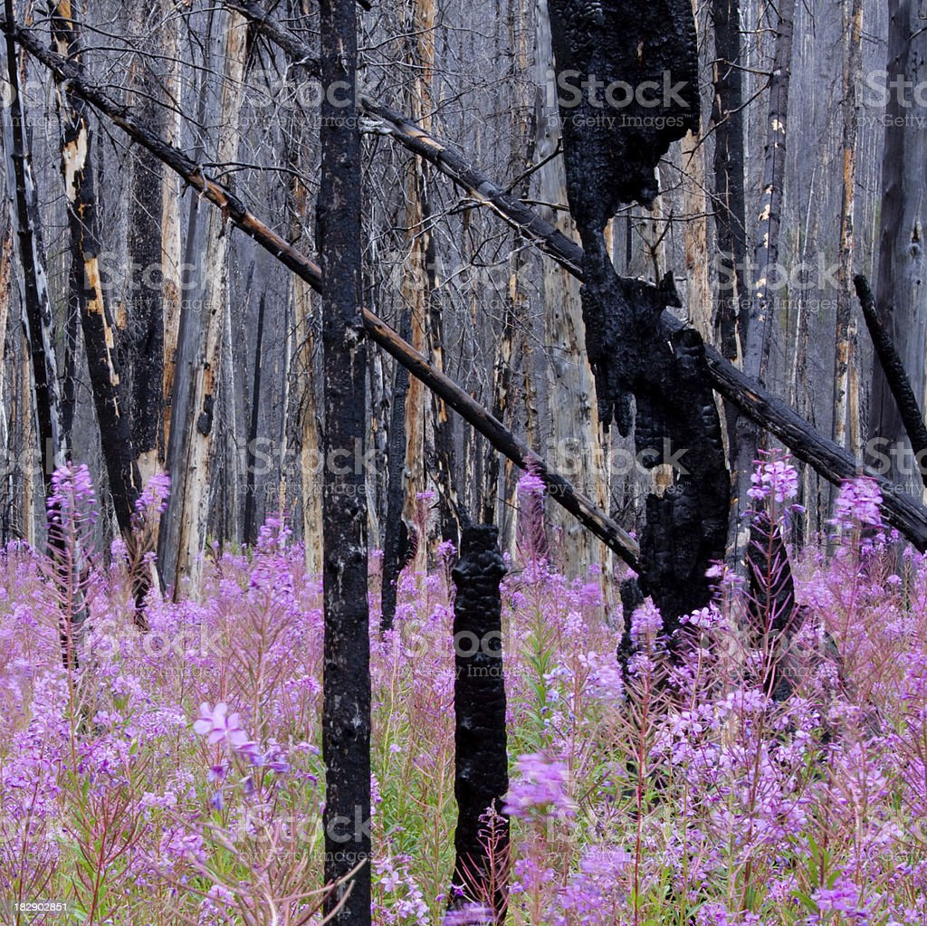 Fireweed in Burnt Forest stock photo