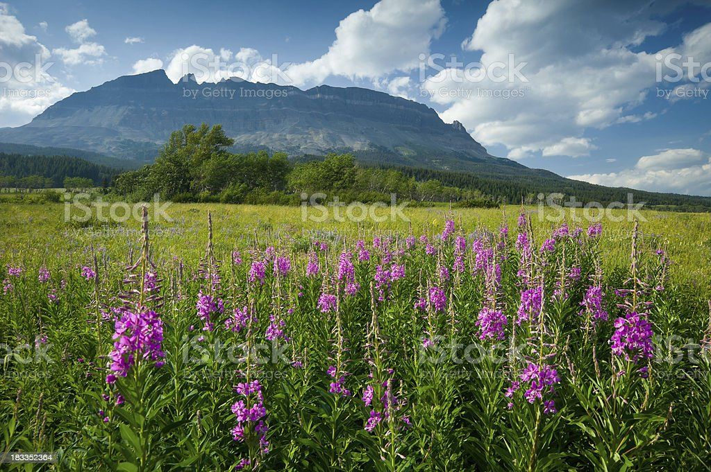 Fireweed Wildflowers and Mountains Glacier National Park stock photo