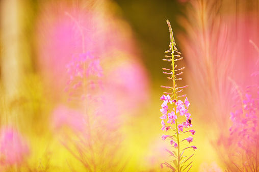 Fireweed, willowherb flowers (Epilobium angustifolium)